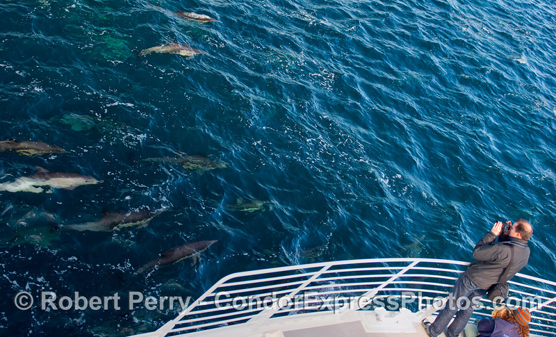 A photographer captures a herd of Common Dolphins (Delphinus capensis) as they catch up with the boat.