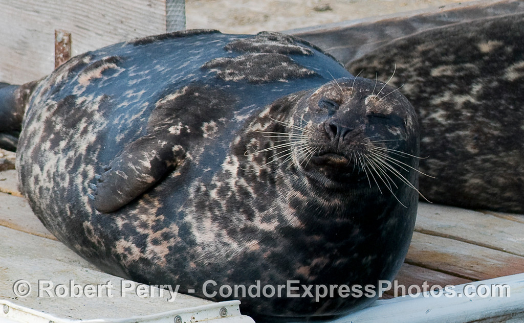 Another pudgy Harbor Seal (Phoca vitulina) soaks up some sunlight.