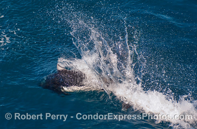 """The characteristic """"rooster tail"""" splash pattern of a Dall's Porpoise (Phocoenoides dalli)."""