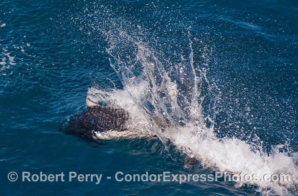 "The characteristic ""rooster tail"" splash pattern of a Dall's Porpoise (Phocoenoides dalli)."