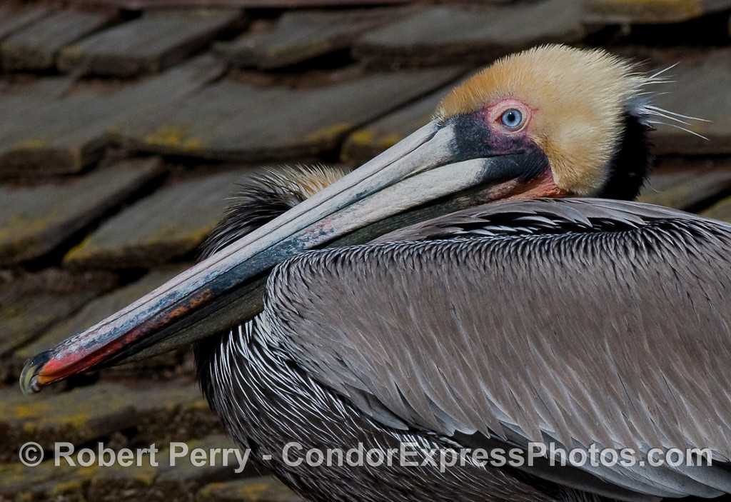 Close look at a relaxed Brown Pelican (Pelecanus occidentalis).
