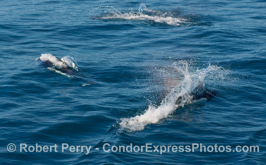 Many Dall's Porpoise (Phocoenoides dalli) play with the Condor Express.