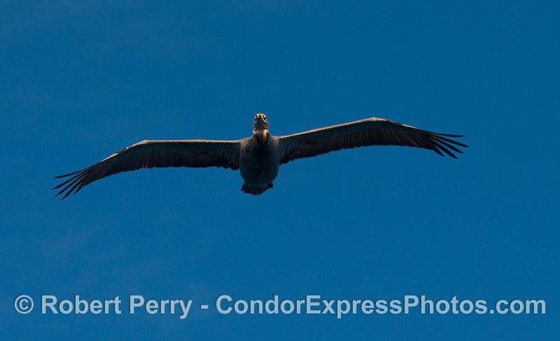 A low flying Brown Pelican (Pelecanus occidentalis).