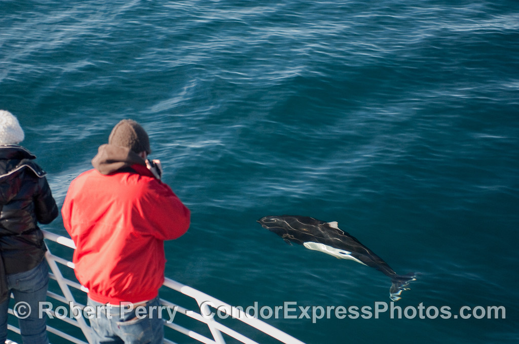 Photographer gets a clean look at a friendly Dall's Porpoise (Phocoenoides dalli).
