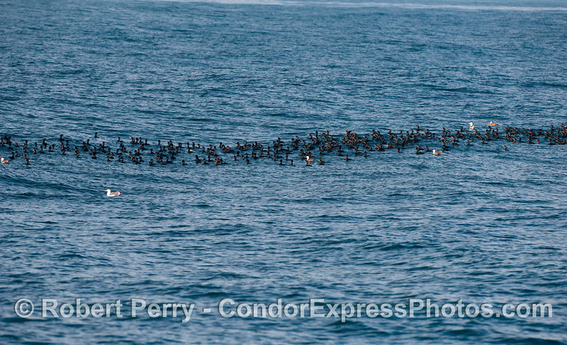 A line of Brandts Cormorants (Phalocrocorax penicillatus) and a few gulls roll along with the swells.