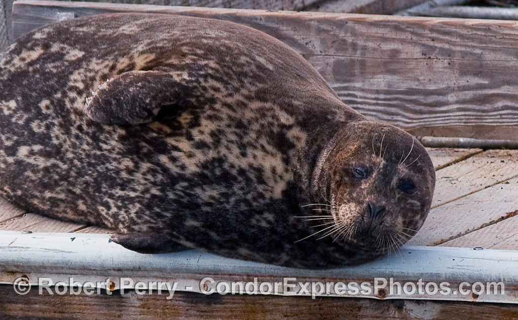 Sleepy Harbor Seal (Phoca vitulina) rests on the bait barge.