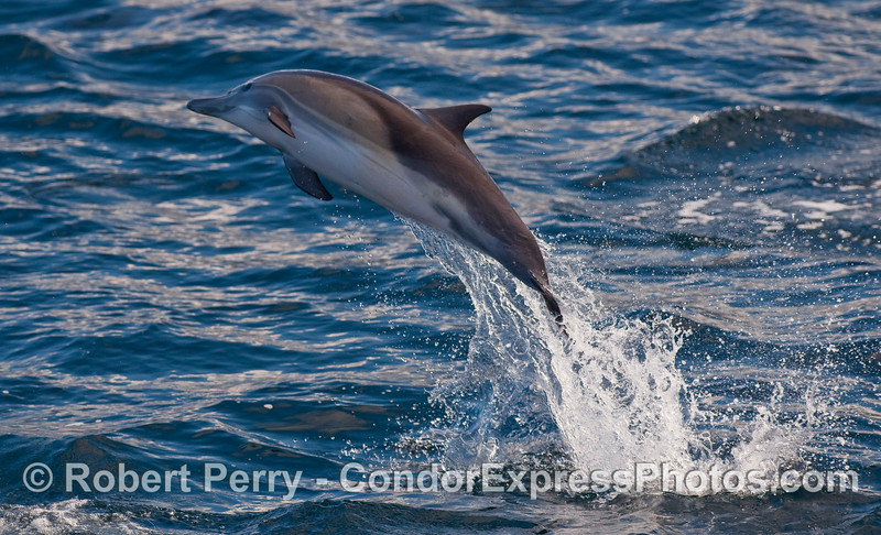 A joyful Common Dolphin (Delphinus capensis) leans over slightly as it leaps.