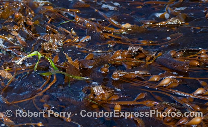 Salad.  A close look at a drifting paddy of Giant Kelp (Macrocystis pyrifera) with strands of Eel Grass (Zostera marina) and Surf Grass (Phyllospadix torreyi).