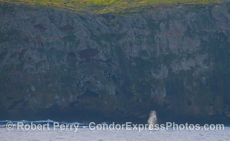 A Gray Whale (Eschrichtius robustus) spouts along the seacliffs of Santa Cruz Island.  The green hills atop the cliffs atest to our recent rainy period.
