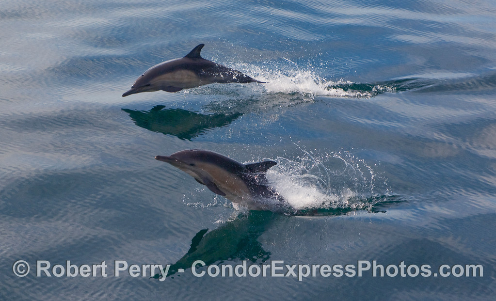 Two Common Dolphins (Delphinus capensis) demonstrate their agility on a glassy ocean surface. Part 1 of 2.