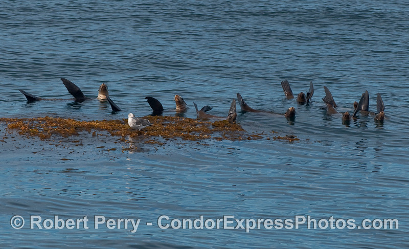 A raft of California Sea Lions (Zalophus californianus) and a gull use a drifting paddy of Giant Kelp (Macrocystis pyrifera) as shelter on the open ocean.