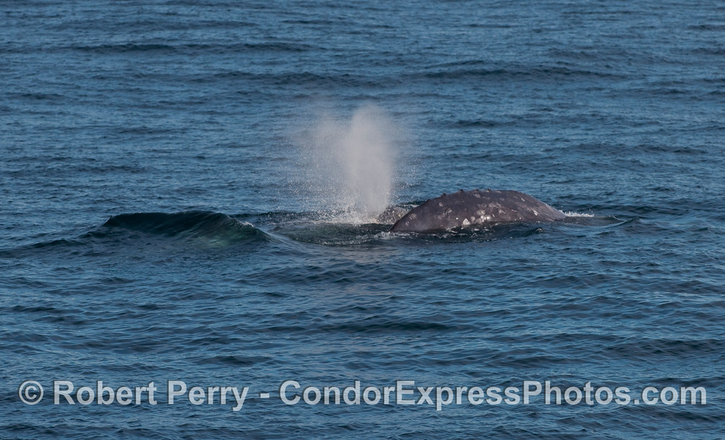 Two Gray Whales (Eschrichtius robustus), likely a male courting a female.