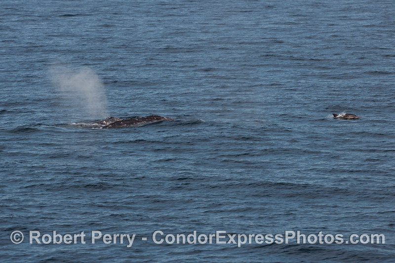 A Common Dolphin rides out in front of two Gray Whales (Eschrichtius robustus).