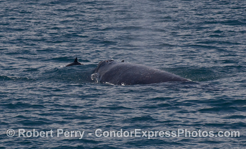 A Gray Whale (Eschrichtius robustus) is accompanied by two Common Dolphins (Delphinus capensis).