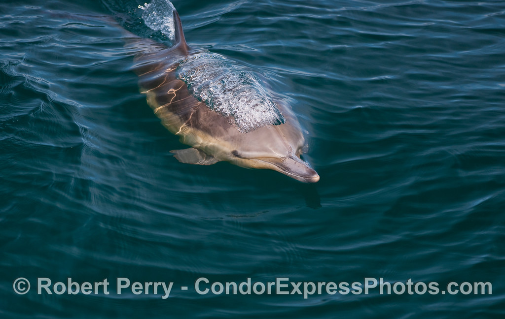 Common Dolphin (Delphinus capensis) - close look #2.
