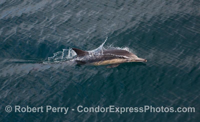 Common Dolphin (Delphinus capensis) - close look #1.