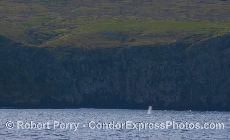 Green hills, sea cliffs and a Gray Whale (Eschrichtius robustus) spout - Santa Cruz Island.