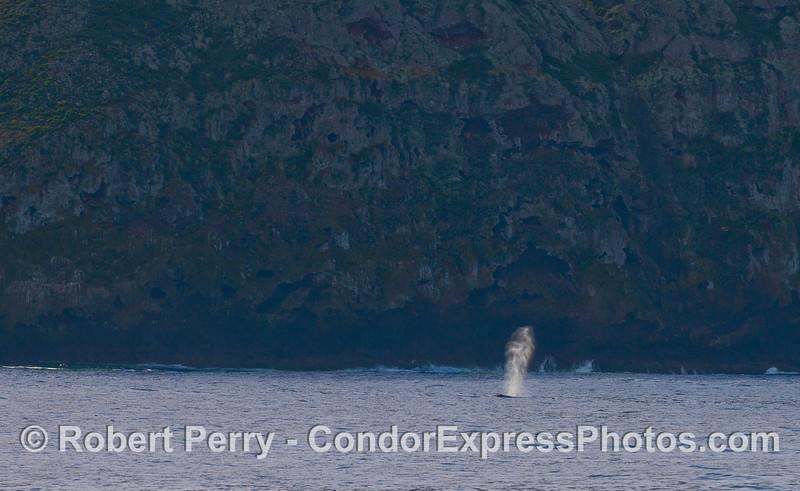 A Gray Whale (Eschrichtius robustus) sends up a bushy spout along the seacliffs of Santa Cruz Island.