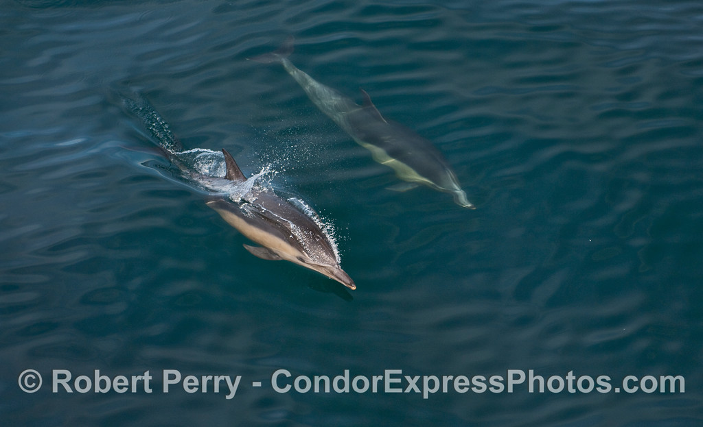 Two Common Dolphins (Delphinus capensis) on a blue ocean.