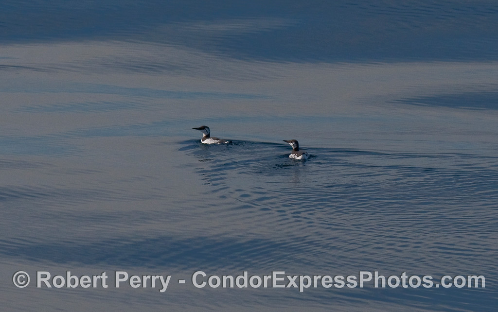 Two Common Mures (Uria aalge) swim on a glassy ocean.