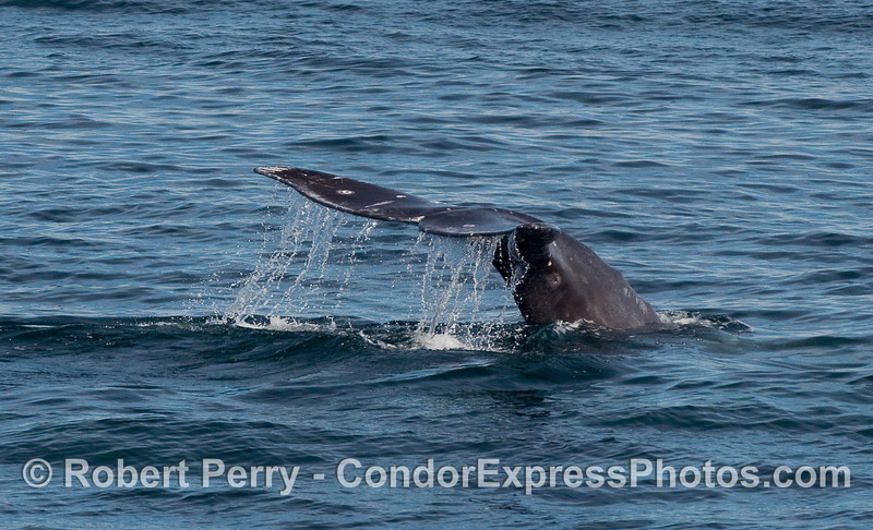 Tail flukes waterfall:  image 2 of 3 - Gray Whale (Eschrichtius robustus) tail.