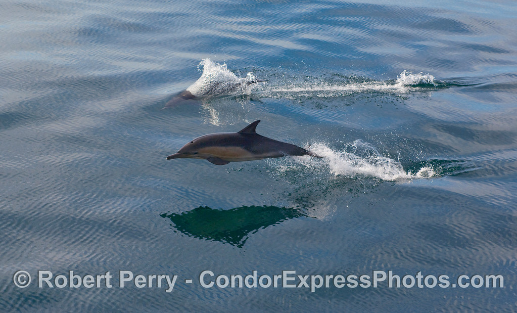Two Common Dolphins (Delphinus capensis) demonstrate their agility on a glassy ocean surface. Part 2 of 2.