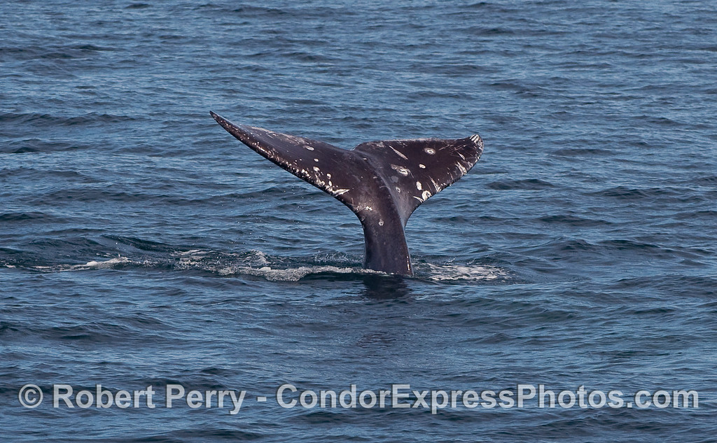 Starting a deeper dive:  image 3 of 3 - Gray Whale (Eschrichtius robustus) tail flukes.