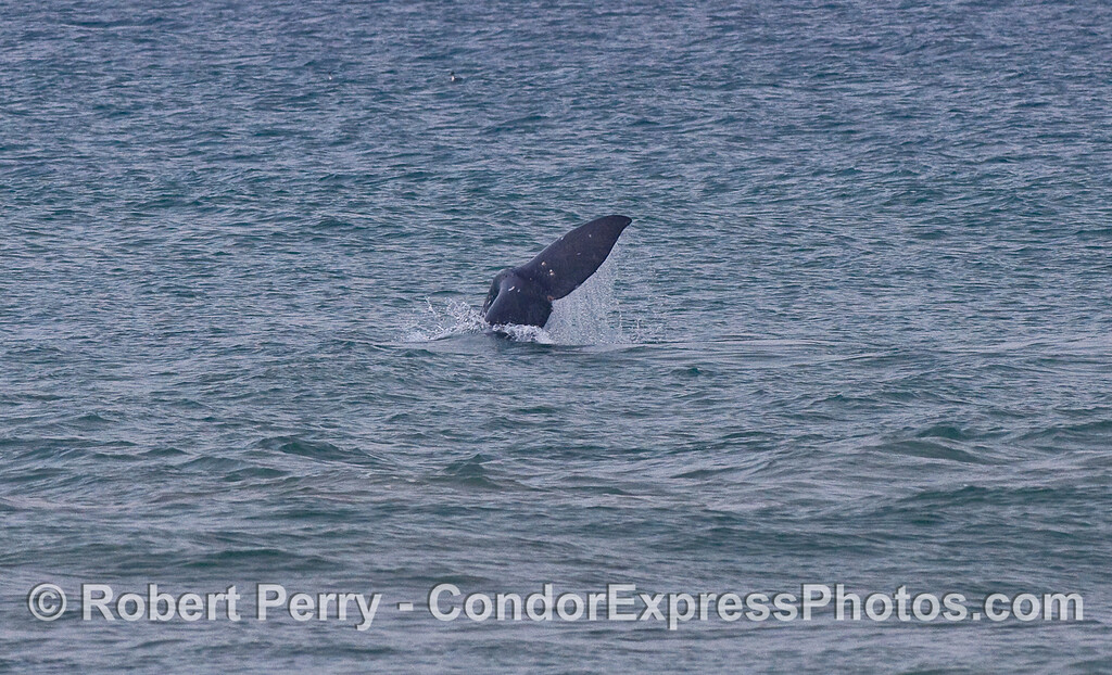 Tail flukes of a Gray Whale (Eschrichtius robustus).