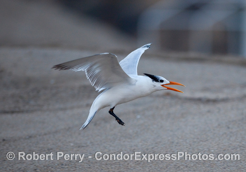 An immature Elegant Tern (Sterna elegans) making begging sounds directed at a nearby adult.