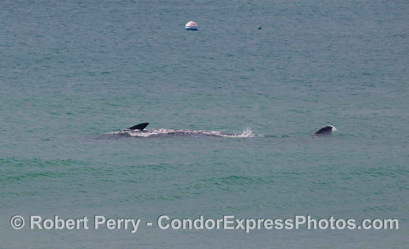 Gray Whale (Eschrichtius robustus) on its back, rolling around...Baywatch buoy in back.