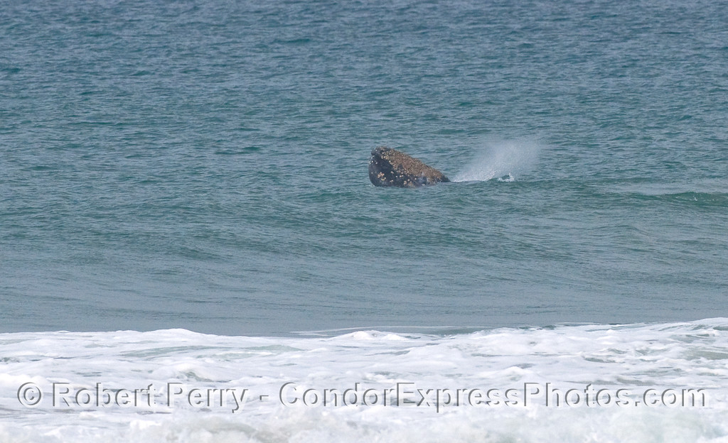 Gray Whale (Eschrichtius robustus) spyhopping and spouting in the surf zone.