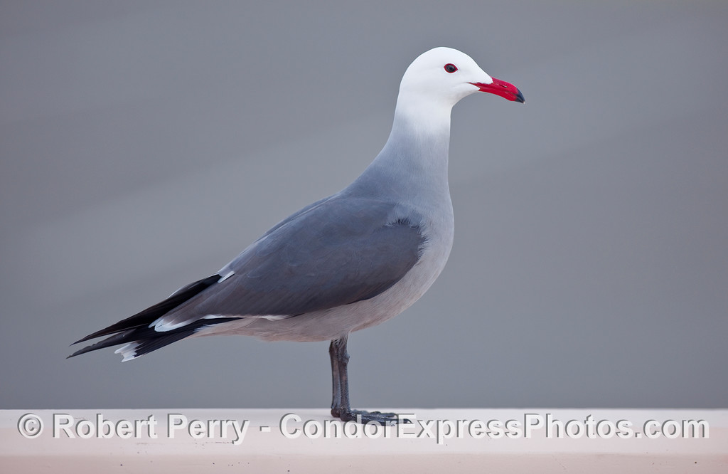 An adult Heermann's Gull (Larus heermanni), perched on the wall at Zuma Beach.