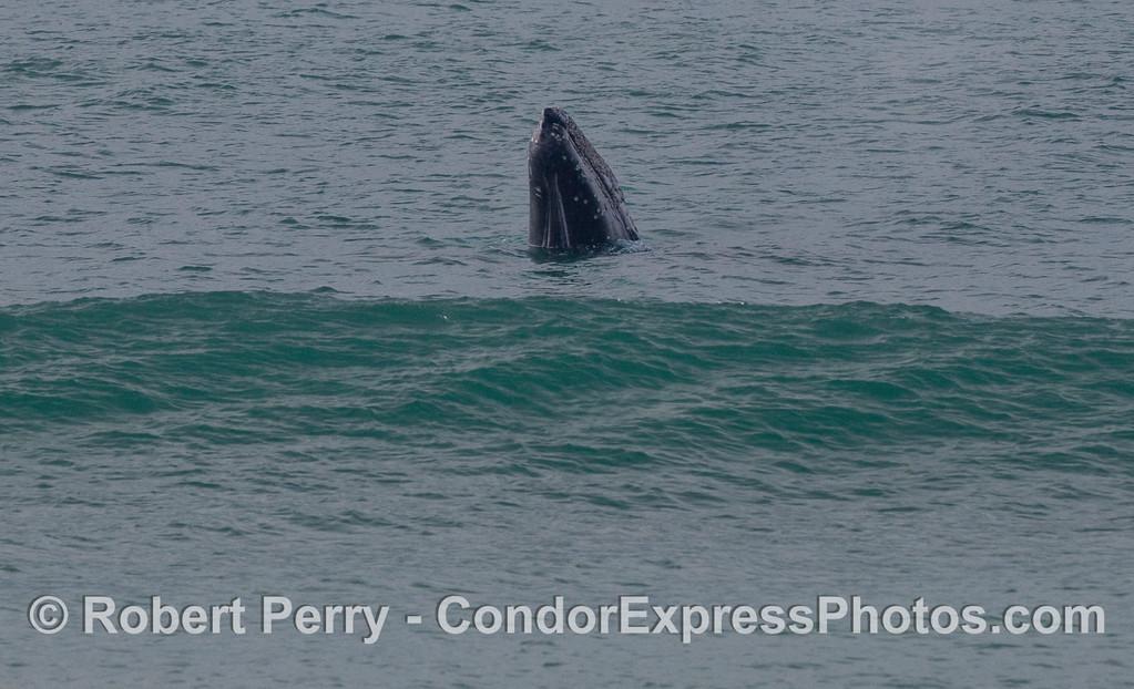 A spyhopping Gray Whale (Eschrichtius robustus).