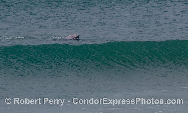 Gray Whale (Eschrichtius robustus) between waves.
