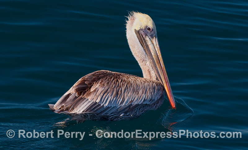 Portrait of a Brown Pelican (Pelecanus occidentalis) sitting on a blue ocean.