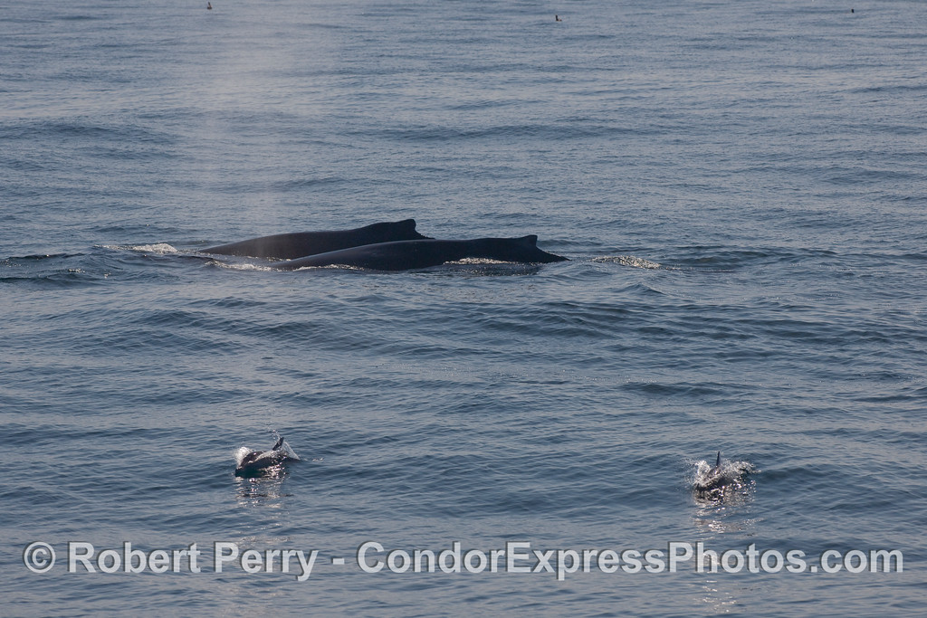 Two Humpback Whales (Megaptera novaeangliae) side by side, accompanied by two Common Dolphins (Delphinus capensis).