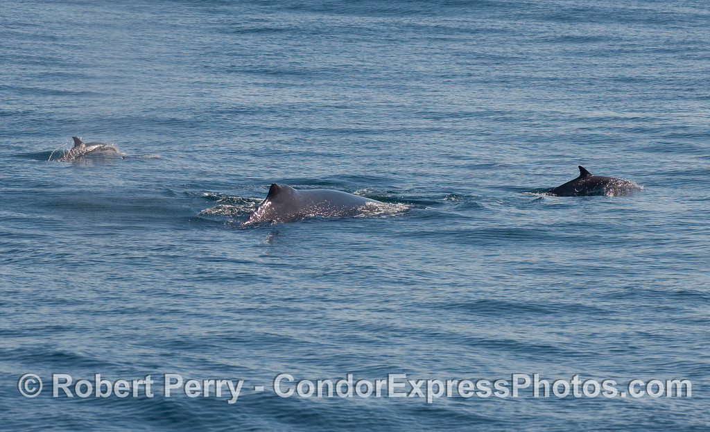 Lots of dorsal fins as Common Dolphins (Delphinus capensis) escort a mighty Humpback Whale (Megaptera novaeangliae).