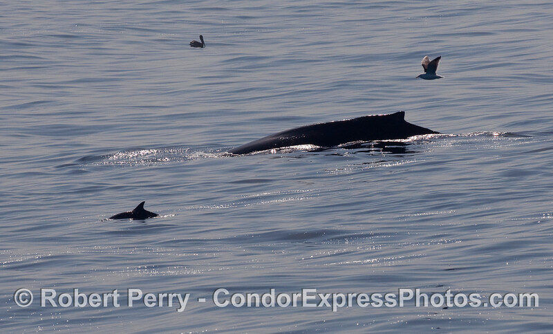Silhouettes of Common Dolphins (Delphinus capensis) with a mighty Humpback Whale (Megaptera novaeangliae).
