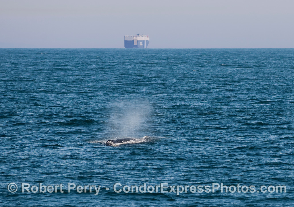 A Humpback Whale (Megaptera novaeangliae) spouts in the wake of a big car-carrying ship heading for Port Hueneme.
