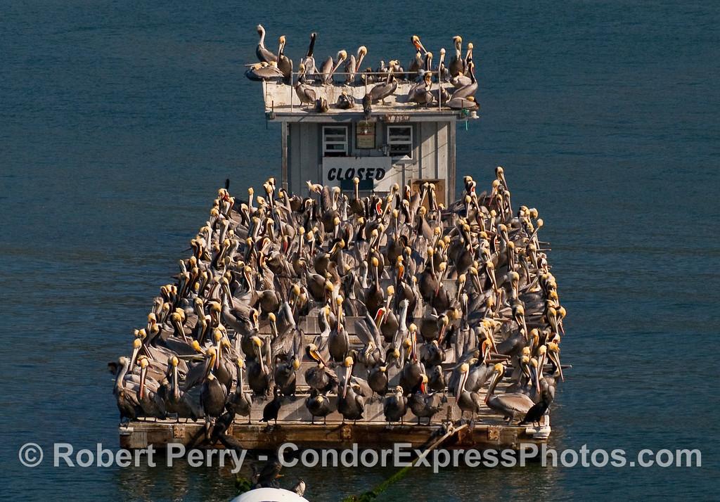 """The """"SS Pelican.""""     (Brown Pelicans - Pelecanus occidentalis - on bait barge inside Santa Barbara Harbor)."""