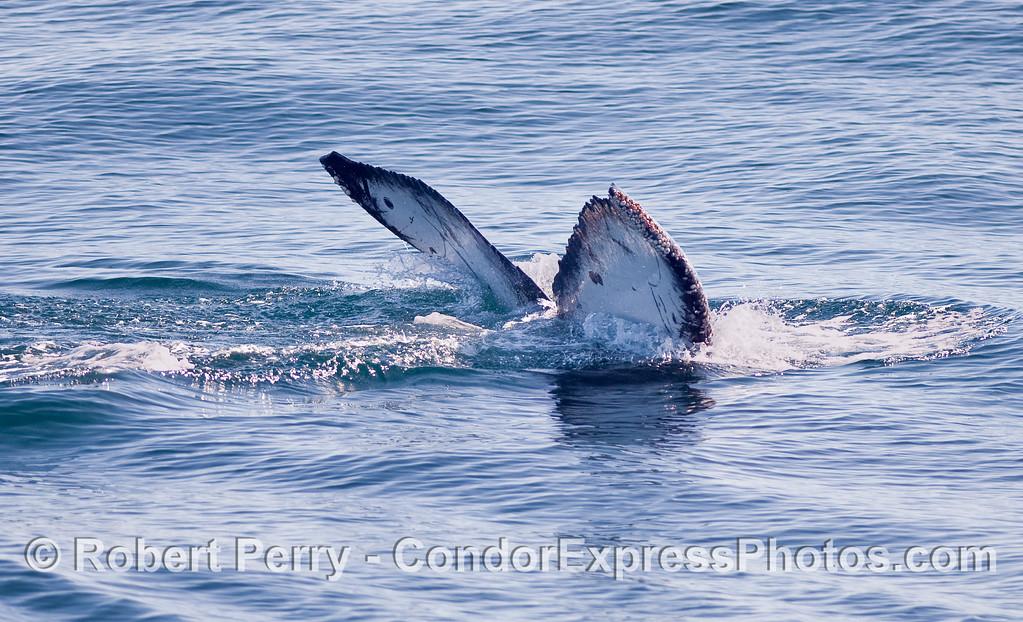 Tail fluke sequence - image 2 of 2 - Humpback Whale (Megaptera novaeangliae) tail flukes.