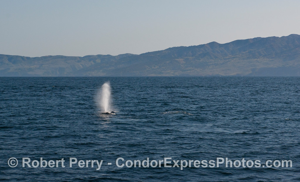 A Humpback Whale (Megaptera novaeangliae) tall spout - Santa Cruz Island in back.
