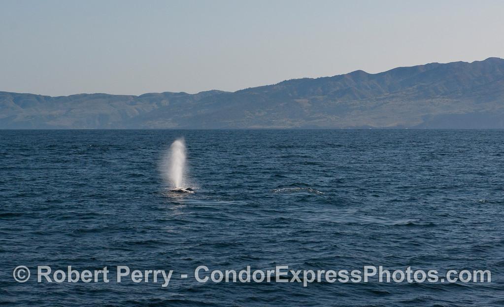 A Humpback Whale (Megaptera novaeangliae) tall spout - Santa Cruz Island in back.