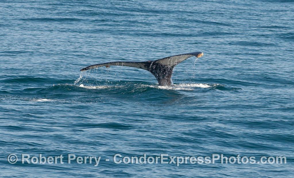 Tail fluke sequence - image 1 of 2 - Humpback Whale (Megaptera novaeangliae) tail flukes.