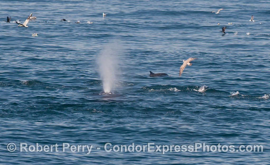 Common Dolphins (Delphinus capensis) cavort with a mighty Humpback Whale (Megaptera novaeangliae).