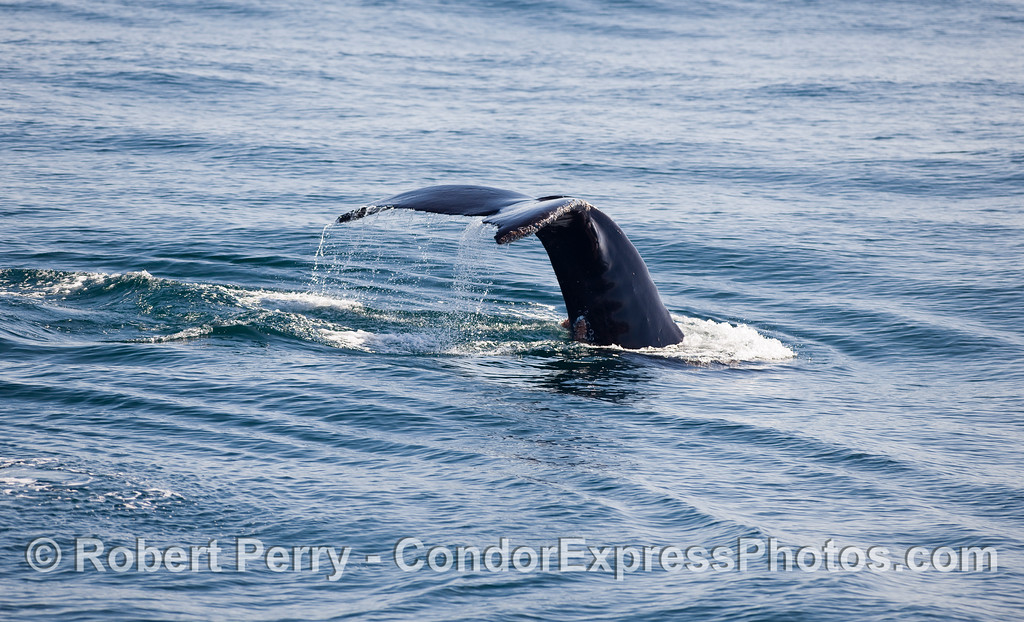 More Humpback Whale (Megaptera novaeangliae) tail flukes.