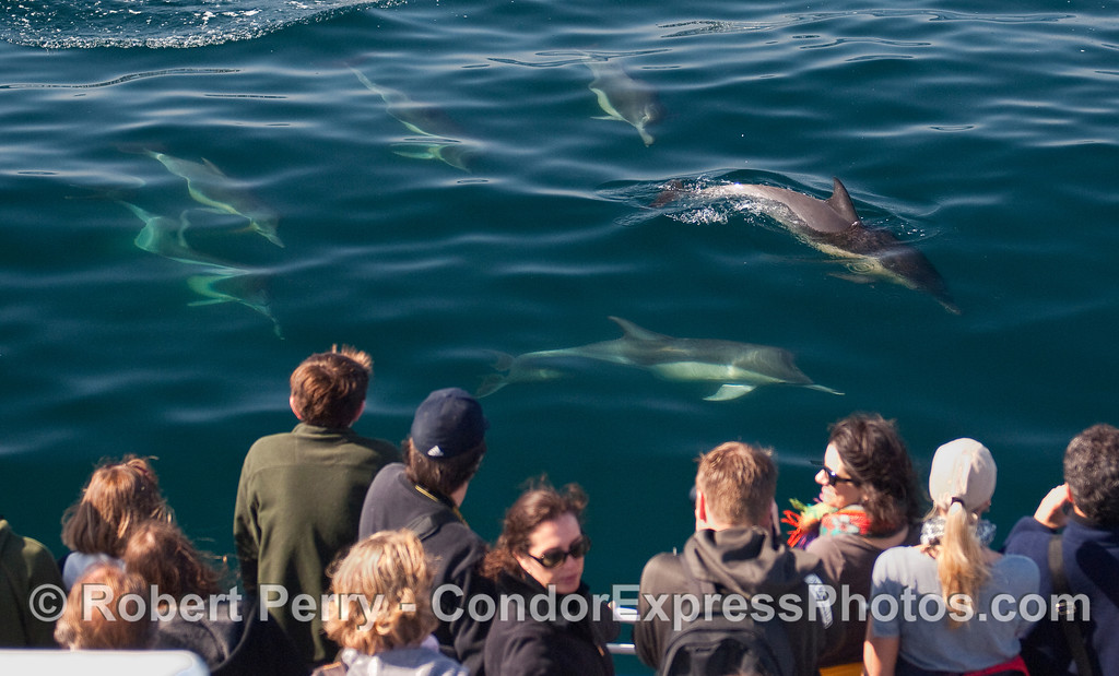 Whalers on board the Condor Express get a visit from some Common Dolphins (Delphinus capensis).
