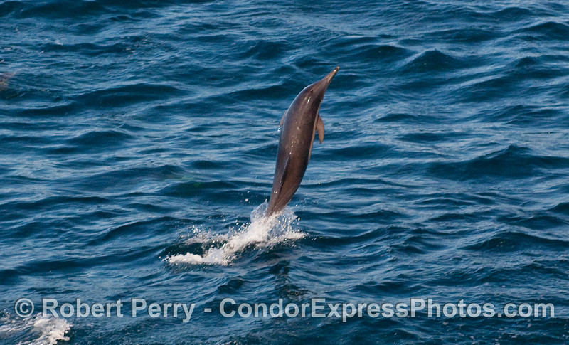 """A Common Dolphin (Delphinus capensis) practices """"tail walking."""""""