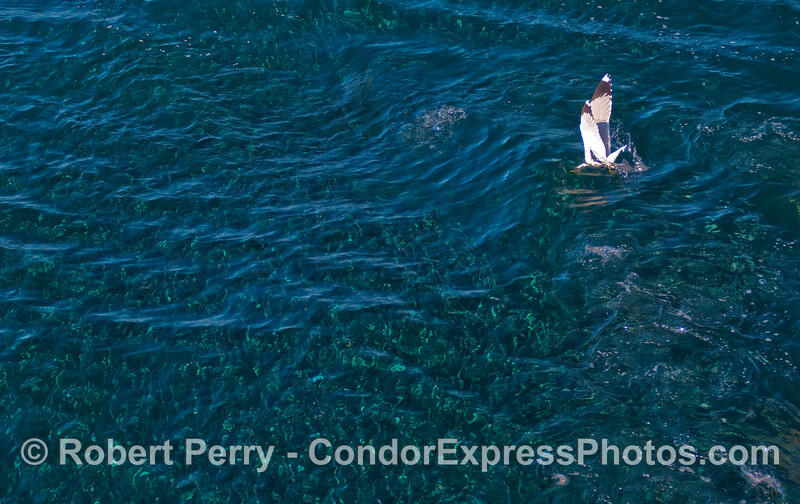 A Ring-Bill Gull (Larus delwarensis) takes a dive to grab Northern Anchovies (Engraulis mordax).