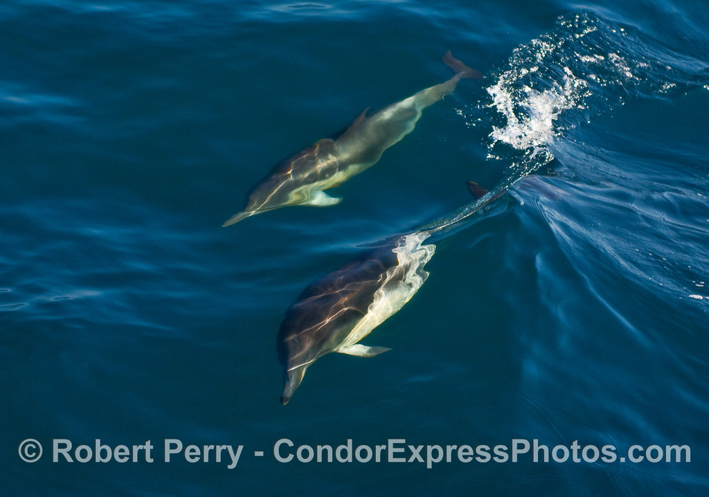 Two Common Dolphins (Delphinus capensis) ride a small wave.